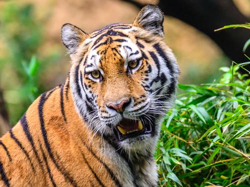 sejour en inde tigre